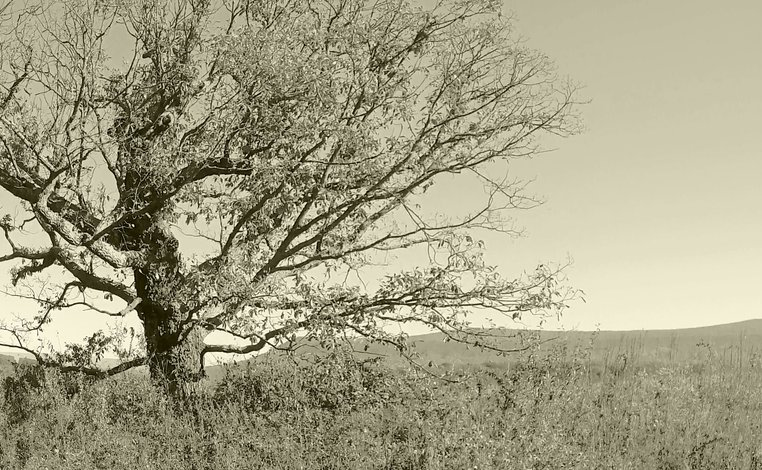 """Witness Tree"" on a Fishers Hill Battlefield ridgetop"